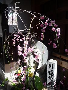 枝垂れ梅と円福地蔵