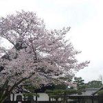 京都の桜散策コース-建仁寺、円山公園、知恩院編