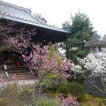 清凉寺境内で咲く梅・2017年