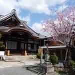 清浄華院で見ごろを保つ蜂須賀桜・2017年