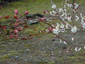 白梅と散った椿