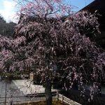 天龍寺の梅と早春の花・2017年