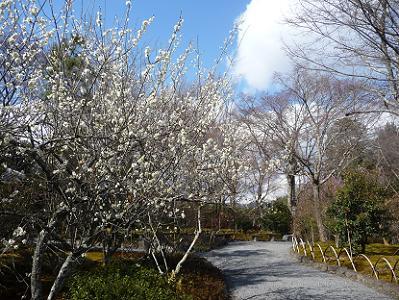 百花苑の白梅