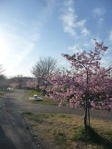 西日を受ける河津桜