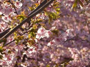 逆光で見る河津桜