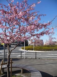 バスターミナルの河津桜