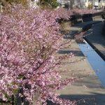 淀水路の河津桜が見ごろに入った・2017年