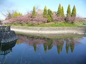 対岸の河津桜