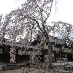 縣神社の散りゆく枝垂れ桜・2017年
