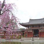 平等院の鳳凰堂と桜の風景・2017年
