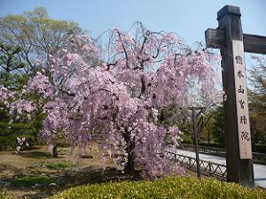 入り口近くの八重紅枝垂れ桜