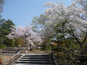 ソメイヨシノ(左)と大島桜(右)