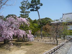 参道脇の八重紅枝垂れ桜