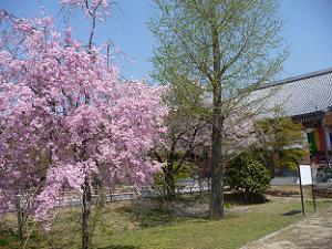 八重紅枝垂れ桜とイチョウ