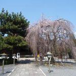 千本釈迦堂の桜・2017年4月3日の状況