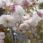 千本ゑんま堂の見ごろの普賢象桜・2017年