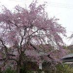 恵心院で美しく咲く三春滝桜・2017年
