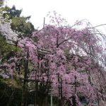 御香宮神社で見ごろを迎えた桜・2017年