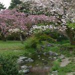 京都御苑の遅咲きの桜・2017年