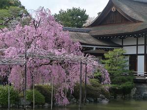 尚美館わきの八重紅枝垂れ桜