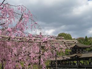 八重紅枝垂れ桜と泰平閣