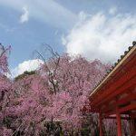 平安神宮で見ごろを迎えた八重紅枝垂れ桜・2017年