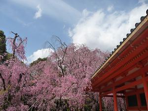 社殿と八重紅枝垂れ桜