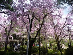 南神苑の八重紅枝垂れ桜