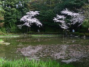 西神苑の桜