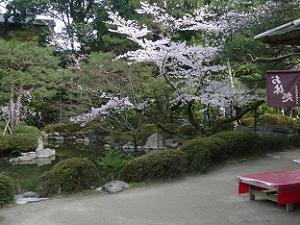 中神苑の桜