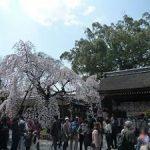 平野神社の魁桜が満開・2017年