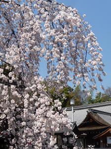 魁桜と社務所