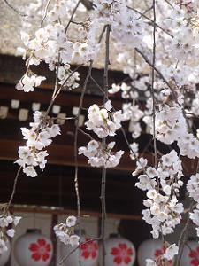 魁桜のアップ