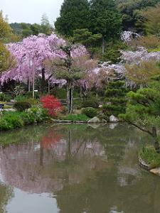 池に映る待賢門院桜