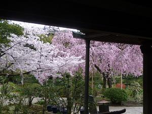礼堂から見る桜