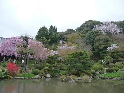 庭園の桜たち