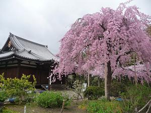 礼堂と待賢門院桜