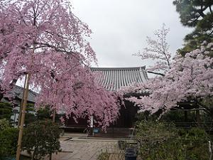 待賢門院桜(左)とソメイヨシノ(右)
