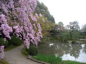 八重紅枝垂れ桜と池