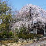 上品蓮台寺で満開になった早咲きの枝垂れ桜・2017年