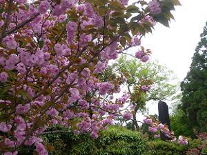 北門付近の八重桜