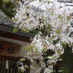 北野天満宮の満開の北野桜・2017年