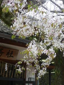 北野桜の枝先