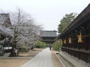 参道から見る北野桜