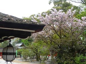 本殿西側の八重桜