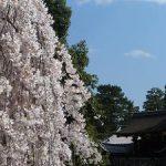 京都御苑の近衛邸跡で早咲きの糸桜が満開になった・2017年