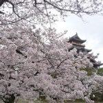 どこを見ても桜満開の伏見桃山城・2017年