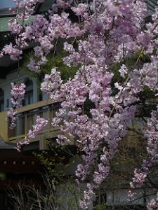 八重紅枝垂れ桜のアップ