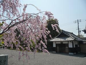 八重紅枝垂れ桜と休憩所
