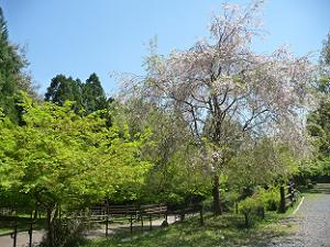 長神の杜の枝垂れ桜